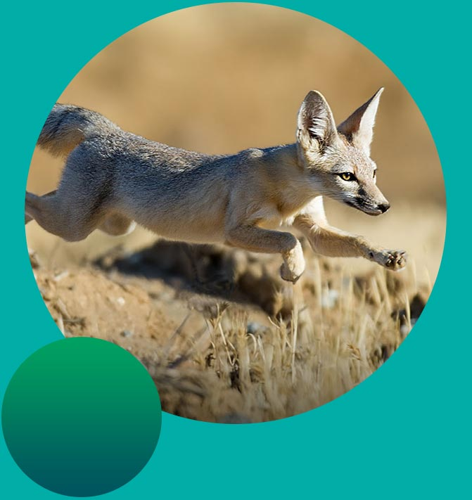 Endangered San Joaquin Fox